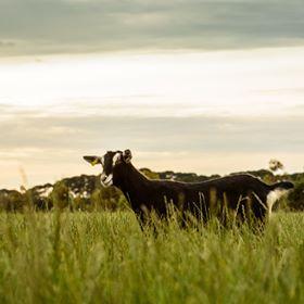 Meredith Dairy - Goat & Sheep Milk Cheeses & Yogurt