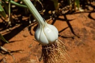 Australian Garlic Producers - Garlic & Garlic Supplement