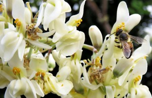 Moringa Honey - Honey